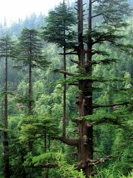 Pine Forest in Manali