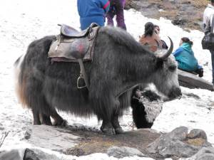 Animals Of Manali
